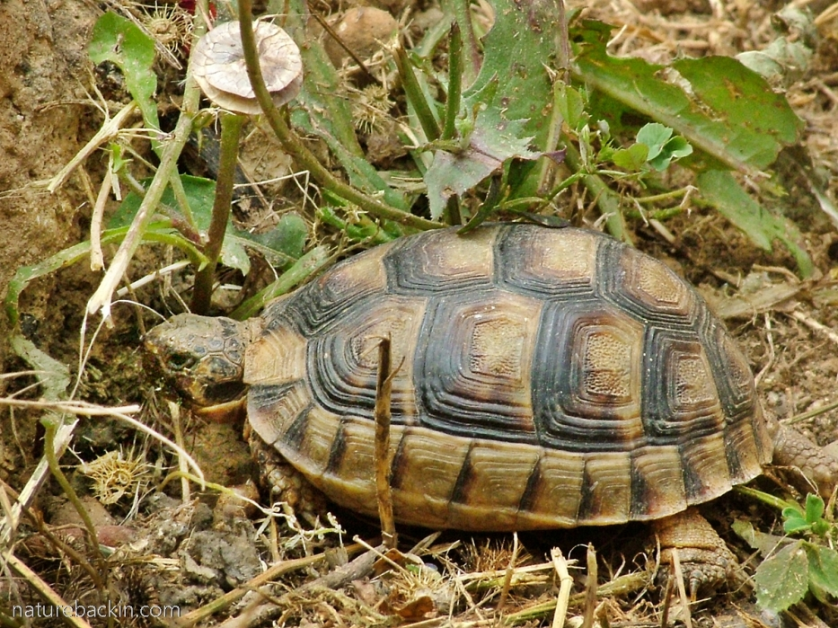 Wild tortoise at the old Acropolis, Sparti