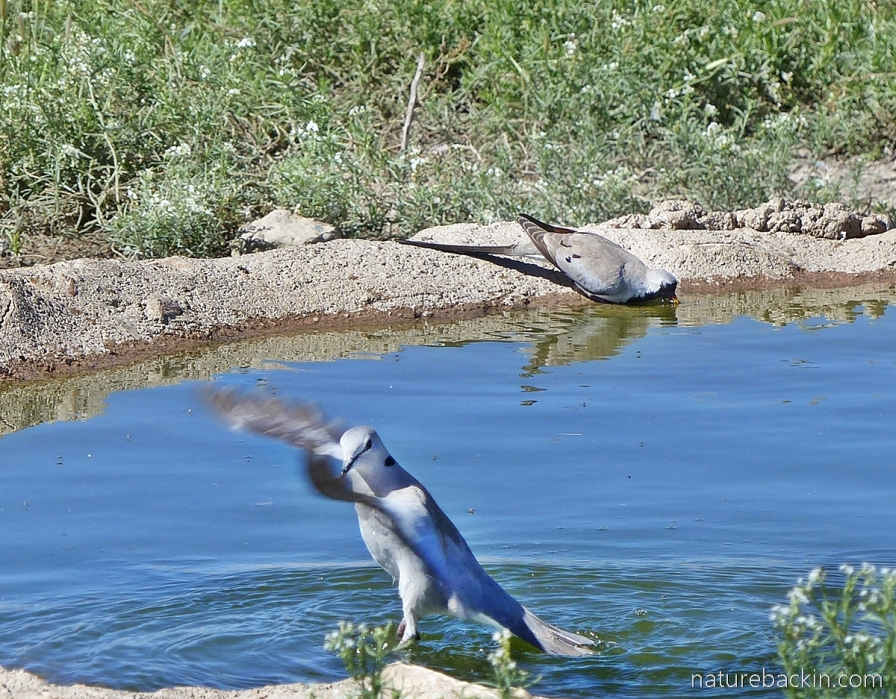 Ring-necked dove showing wing strength at waterhole, Mabuasehube, Botswana