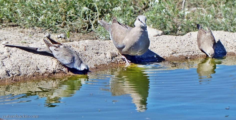 Ring-necked dove and Namaqua doves at waterhole, Mabuasehube, Botswana