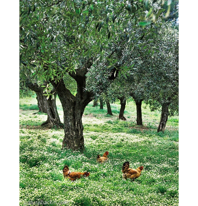 Chickens in olive grove near Sparti, Peloponnese