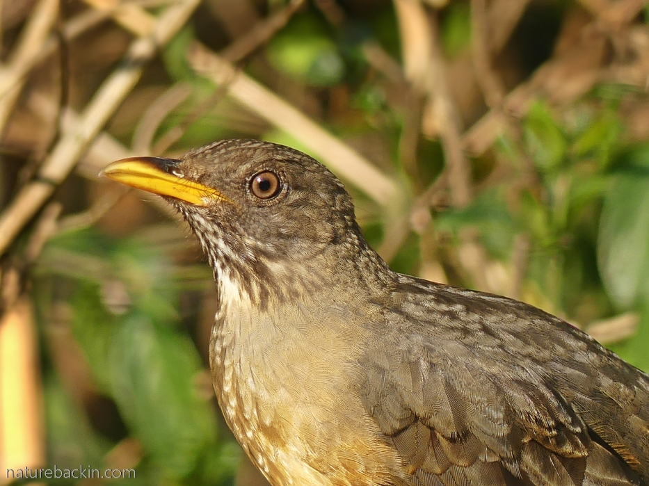 Portrait of an olive thrush, South Africa