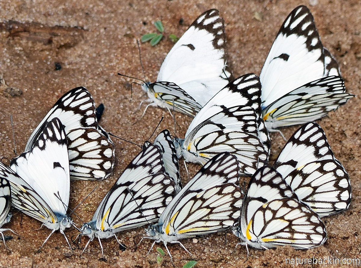 Pioneer Caper Whites or Brown-veined Whites (Belenois aurota) mud puddling, Mabuasehube, Botswana