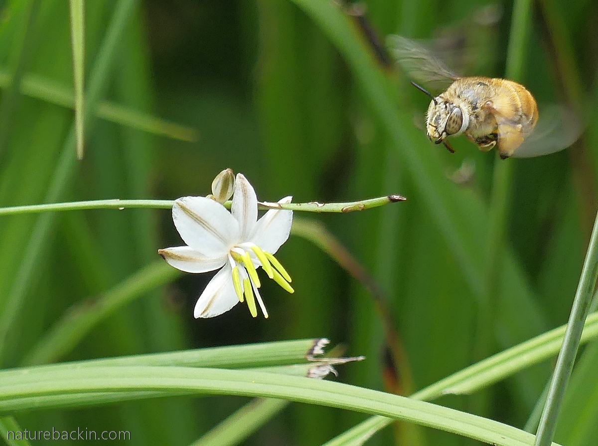 Solitary bee flitting between flowers, South Africa