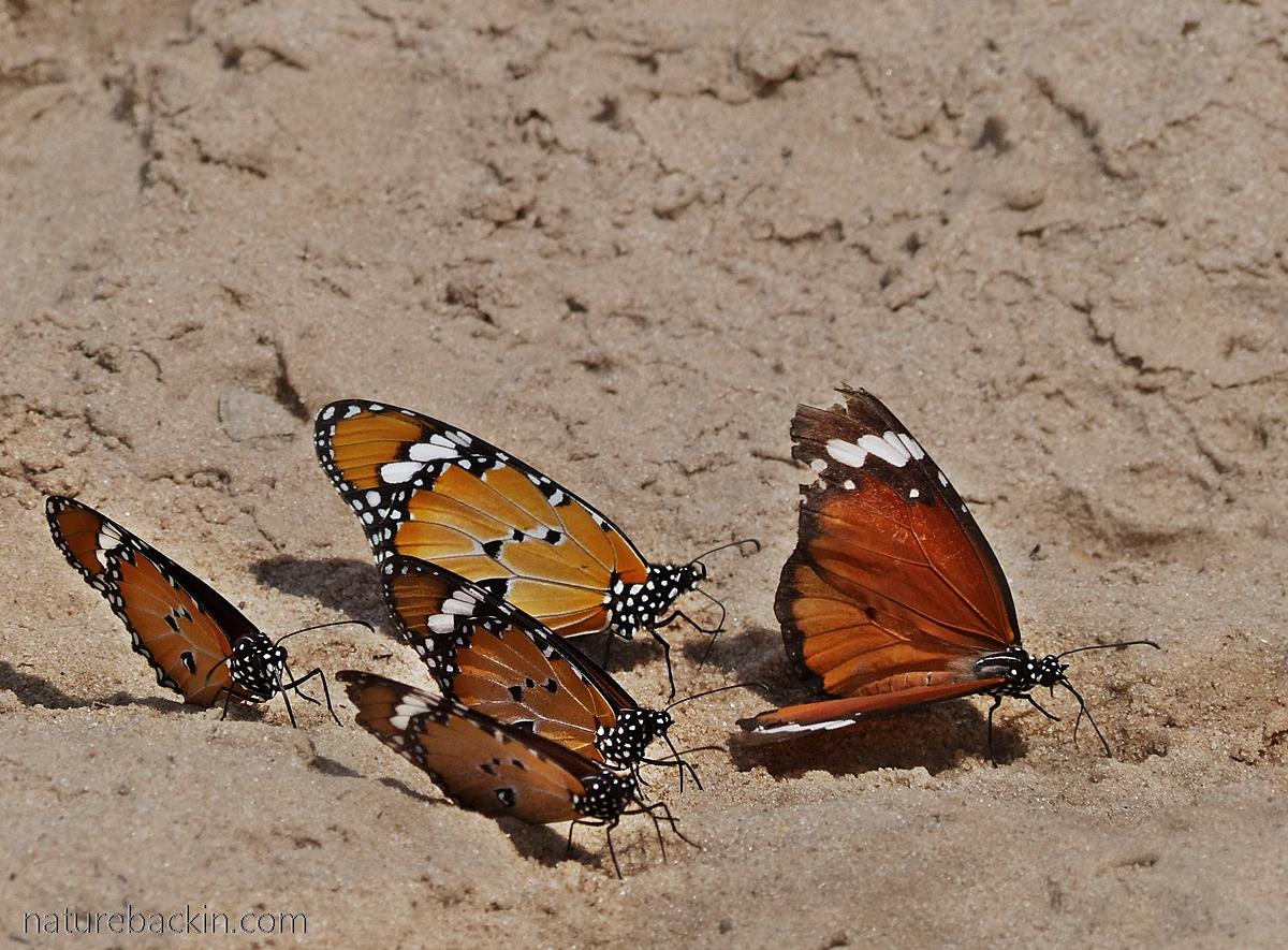 African Monarch butterflies mud-puddling