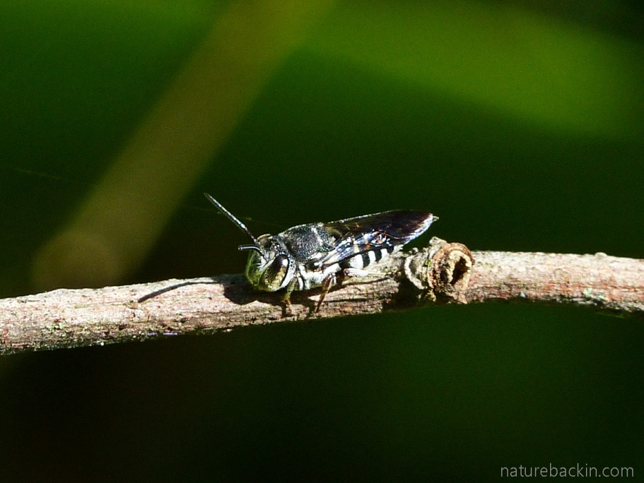 Cuckoo bee, South Africa