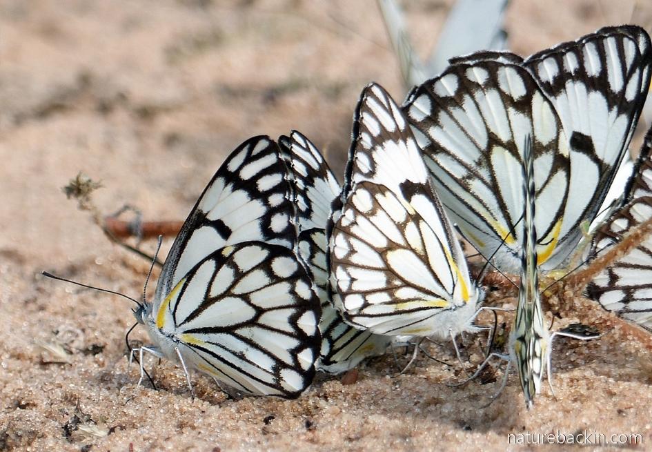 Pioneer Caper White or Brown-veined Buggerflies, Botswa