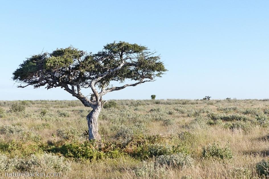 Shepherds Tree (Boscia Albitrunca) larval host plant of the Belenois aurota butterflies