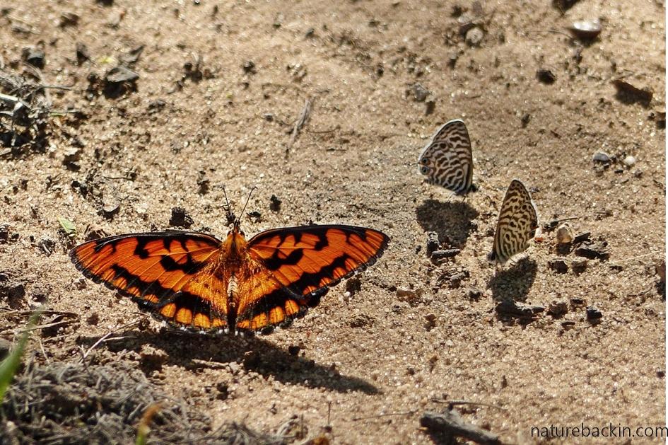 Spotted Joker (Byblia ilithyia) butterfly, Botswana