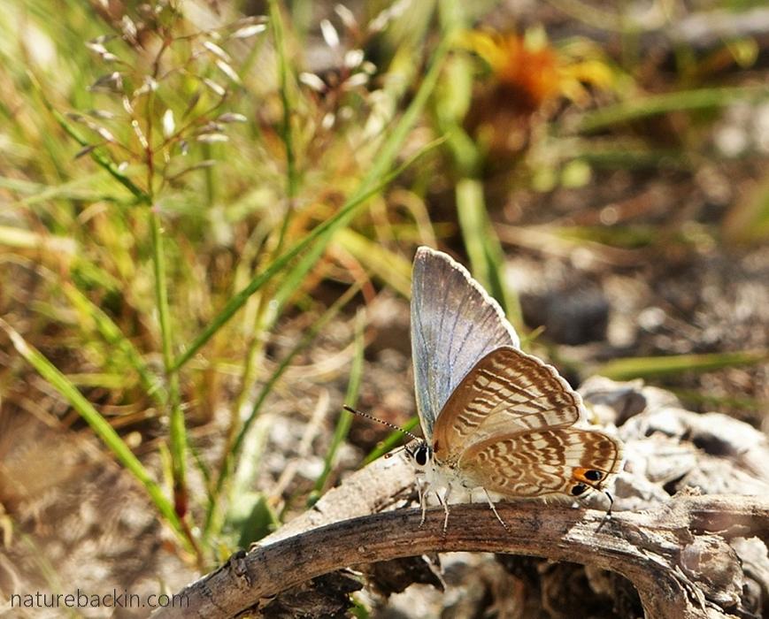 Pea Blue butterfly, Botswana
