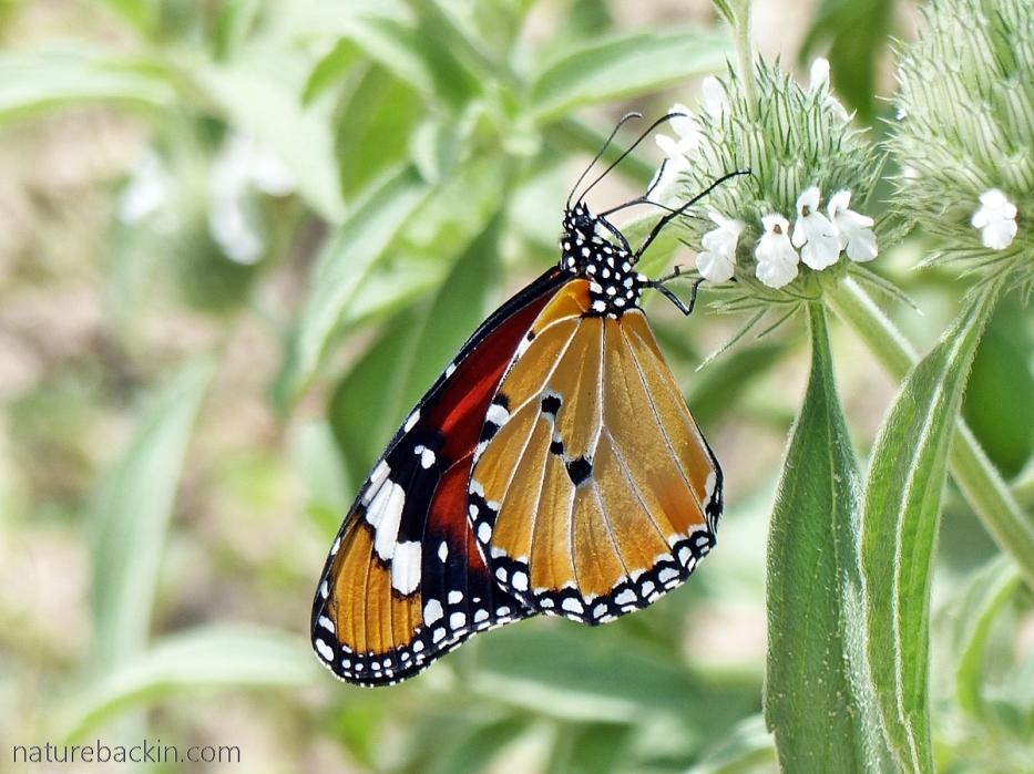 African monarch (Danaus chrysippus) nectaring, Botswana