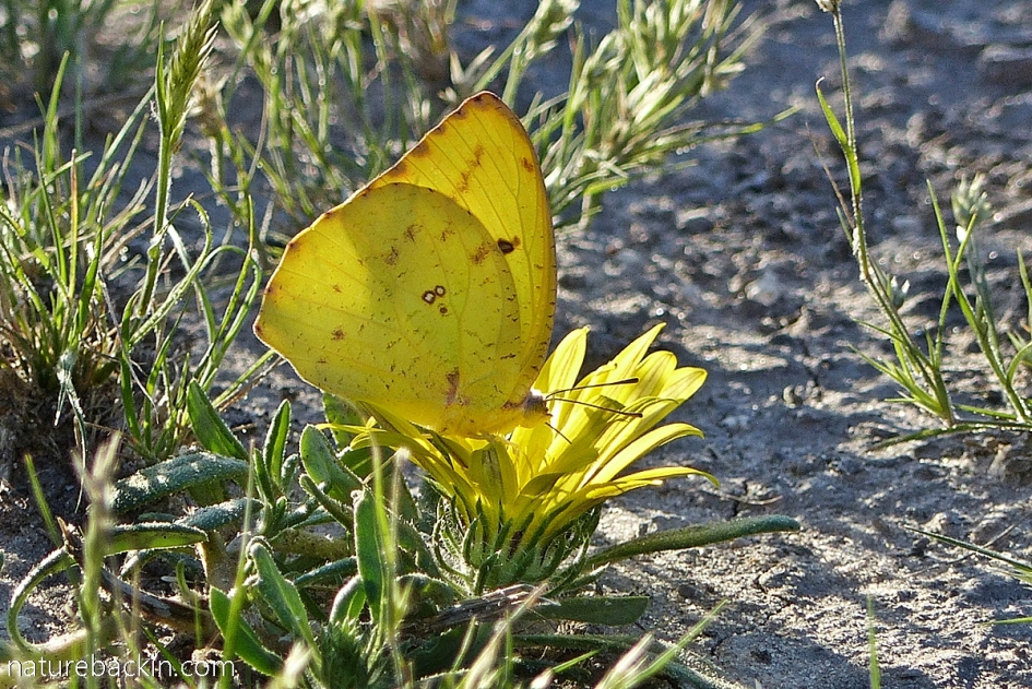 African Migrant butterfly gathering nectar, Central Kalahari Game Reserve, Botswana