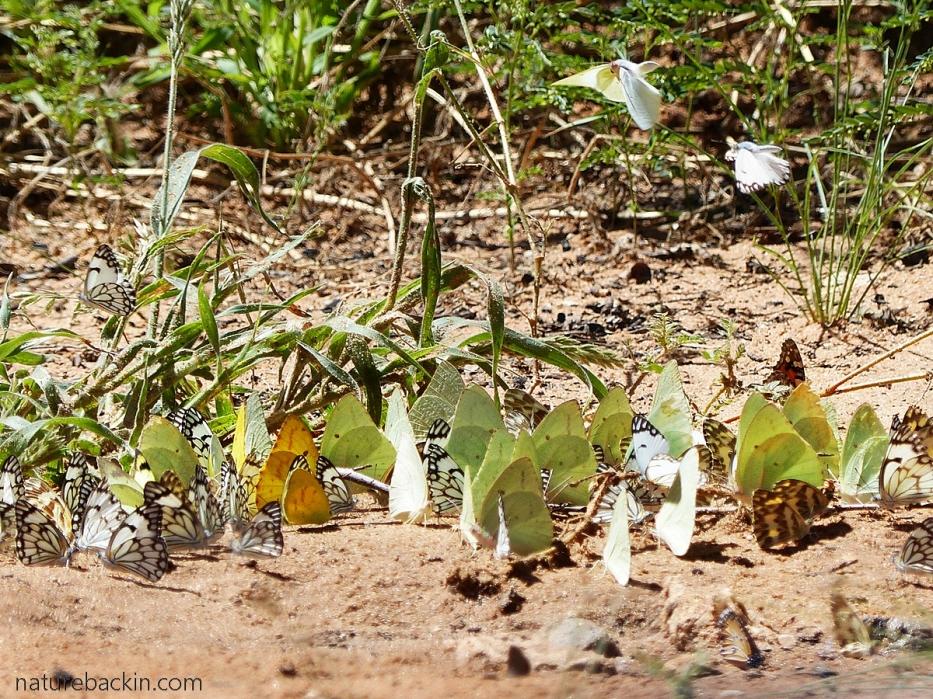 Butterflies mud puddling, Mabuasehube, Botswana