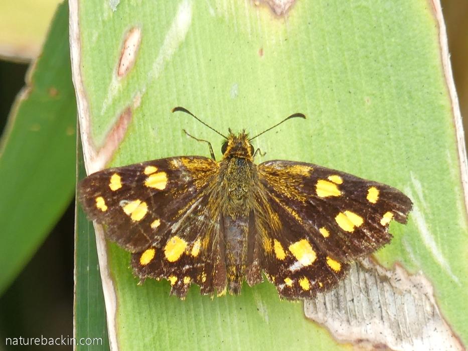 Rather tatty Gold-spotted Sylph (Metisella metis), KwaZulu-Natal