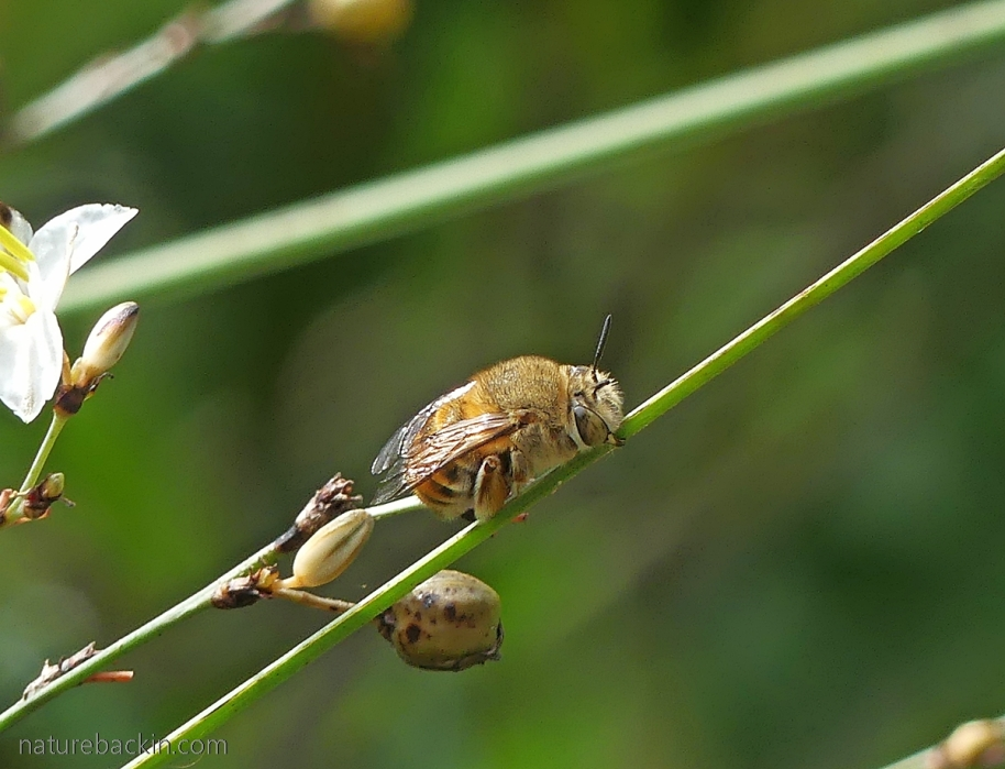 Solitary bee, possibly and Amegilla, South Africa