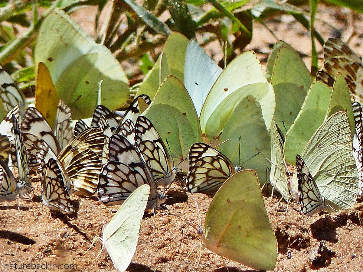 Brown-veined White and African Migrant butterflies mud puddling, Botswana