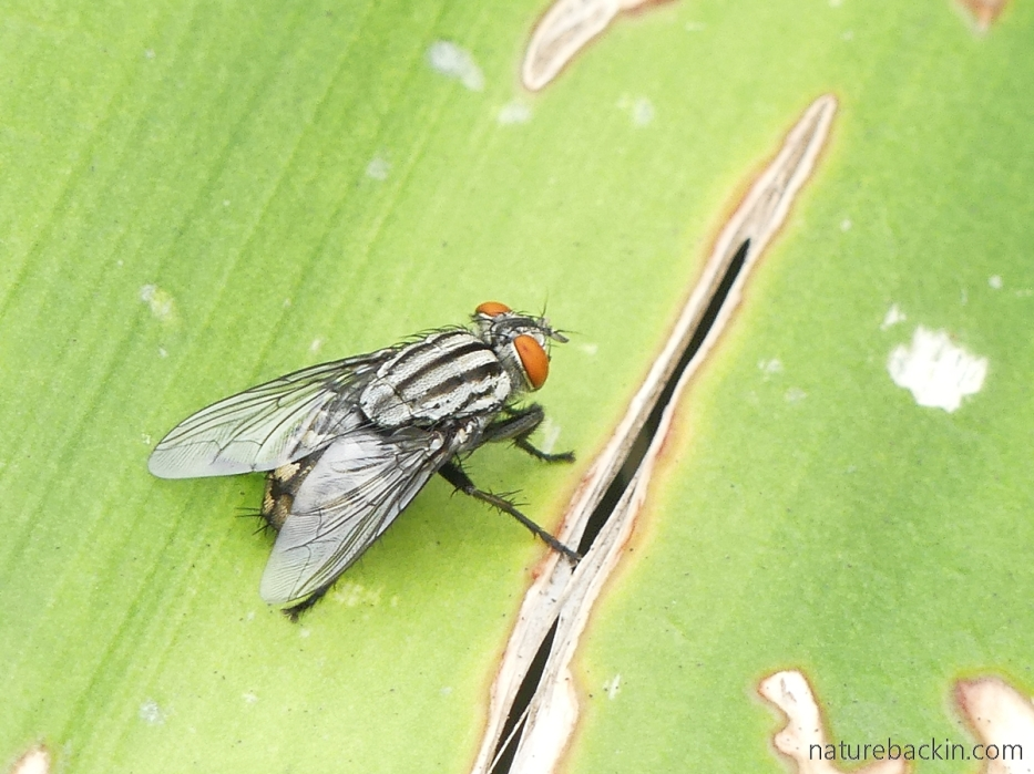 Flesh eating fly, South Africa