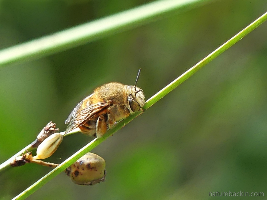 Solitary bee, possibly and Amegilla, holding onto plant stem with its mandibles