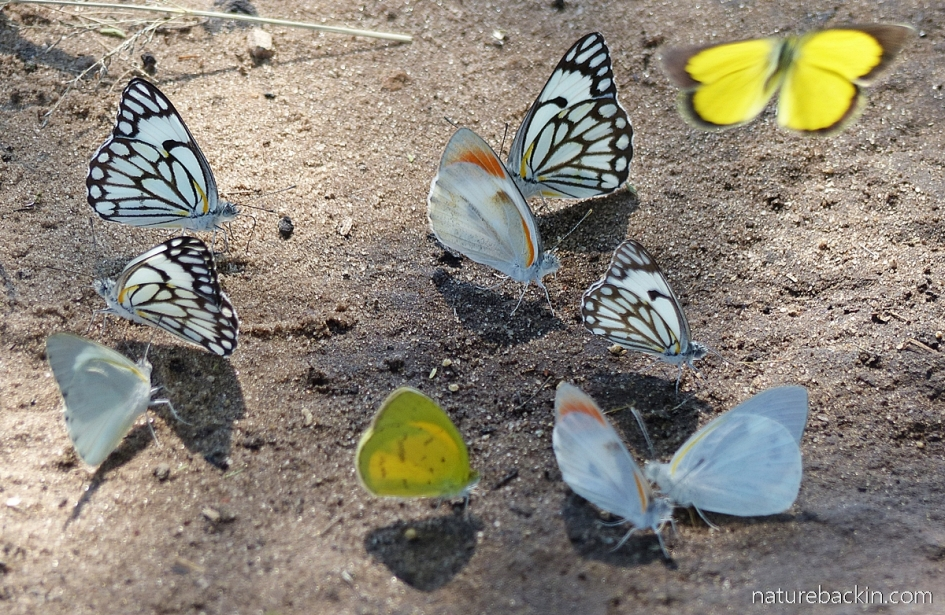 Group of butterflies at damp patch, Central Kalahari Game Reserve, Botswana
