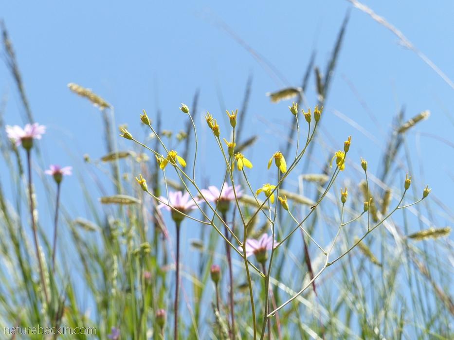Grassland flowers KZN Midlands
