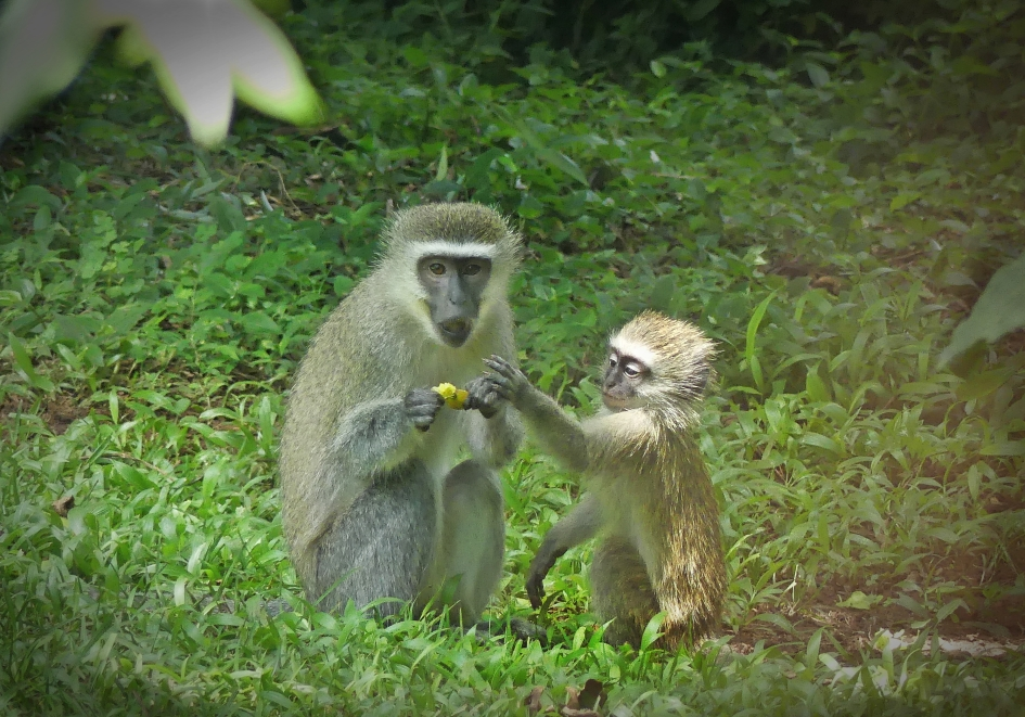 Vervet monkey juvenile asking its mother to share a fruit in a garden in KwaZulu-Natal