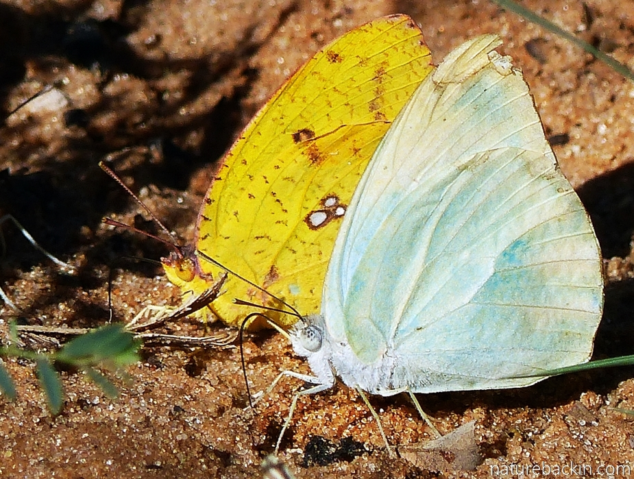 Male and female African Migrant butterflies (Catopsilia florella), Botswana