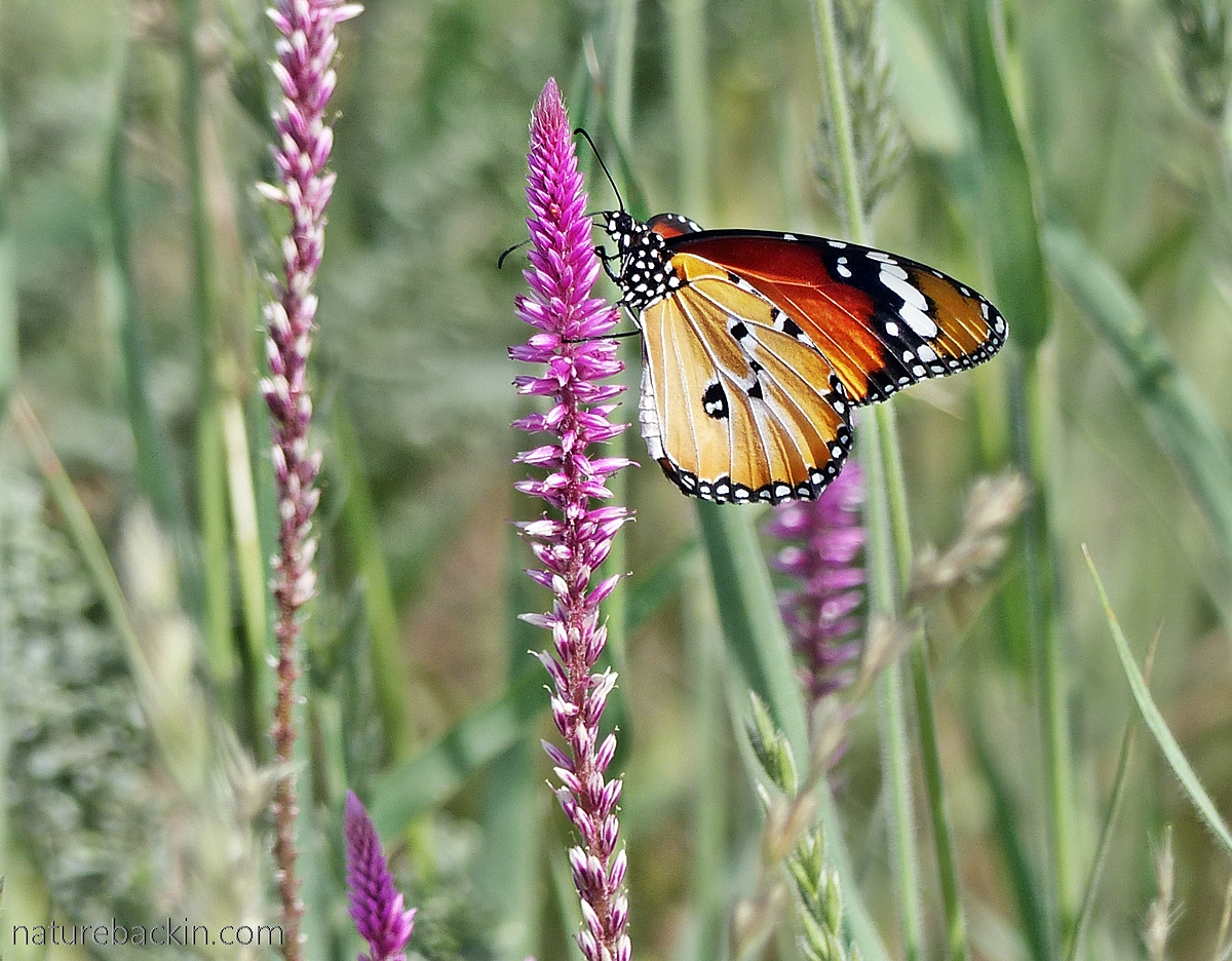 African Monarch (Danaus chrysippus)gathering nectar, Mabuasehube