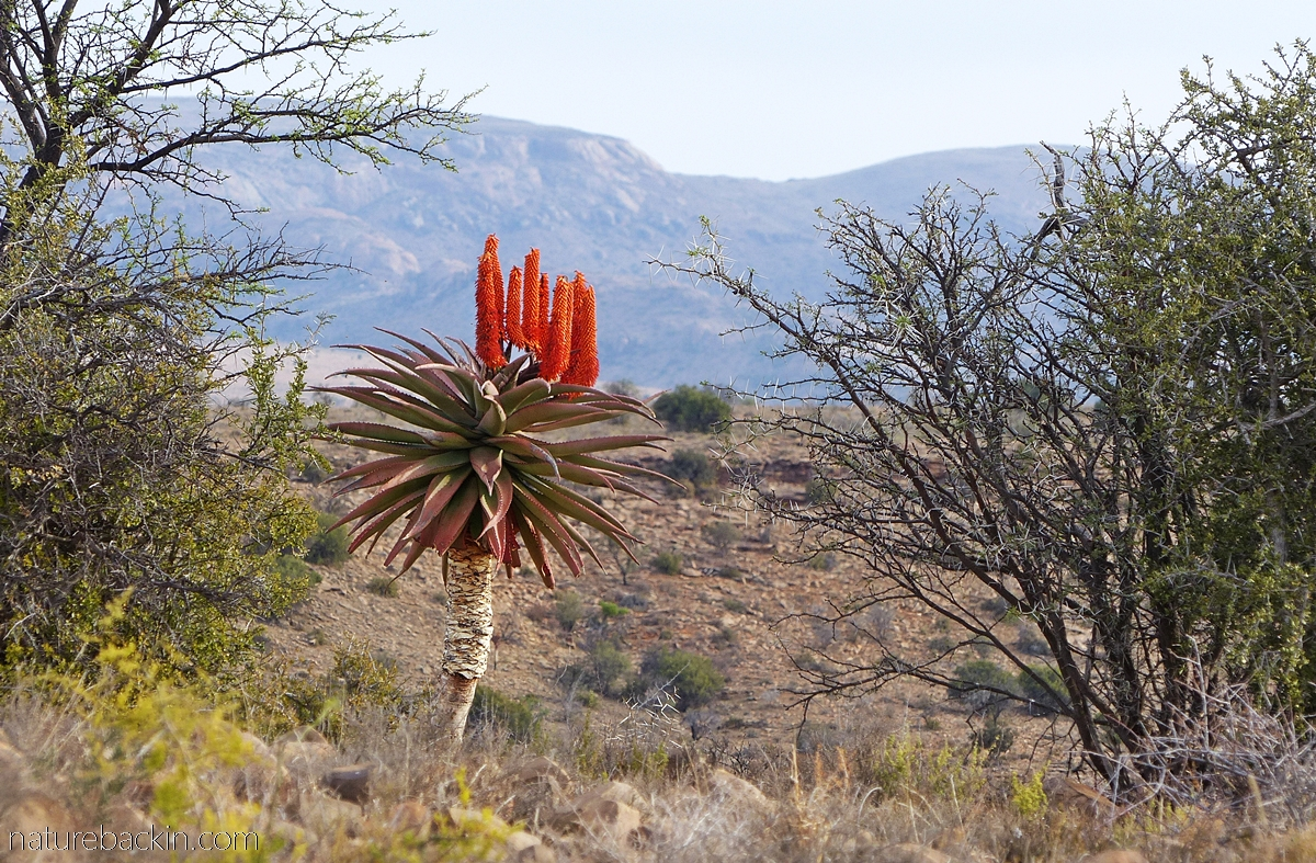 Aloe in flower at Mountain Zebra National Park