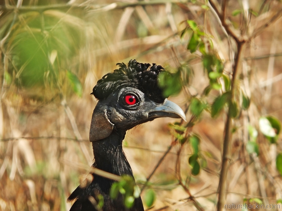 A crested guineafowl at Kuleni Game Park, Zululand