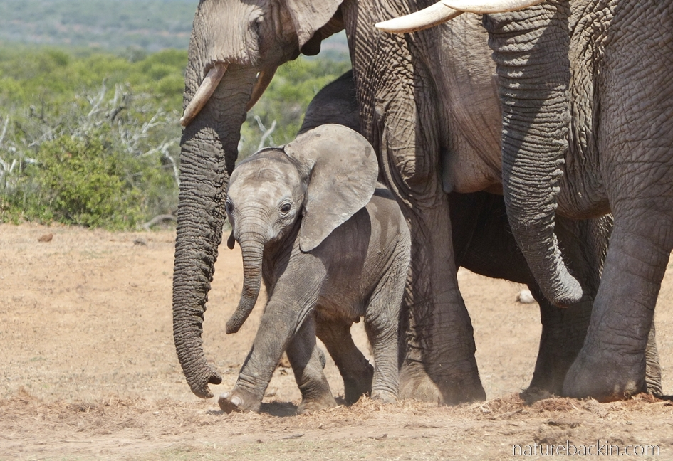 Young elephant approaches waterhole with family group, Addo Elephant National Park, South Africa