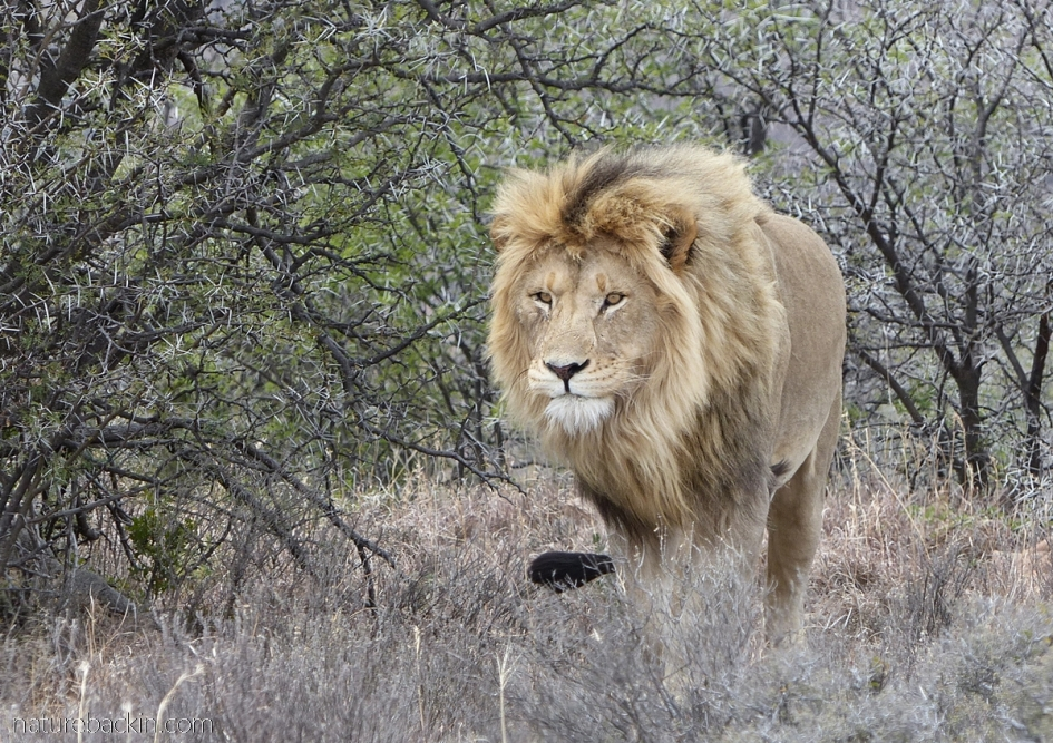 Male lion at Mountain Zebra National Park, South Africa