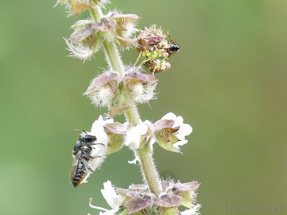 Solitary bee visiting a flower and being ignored by a nearby spiny flower mantis nymph