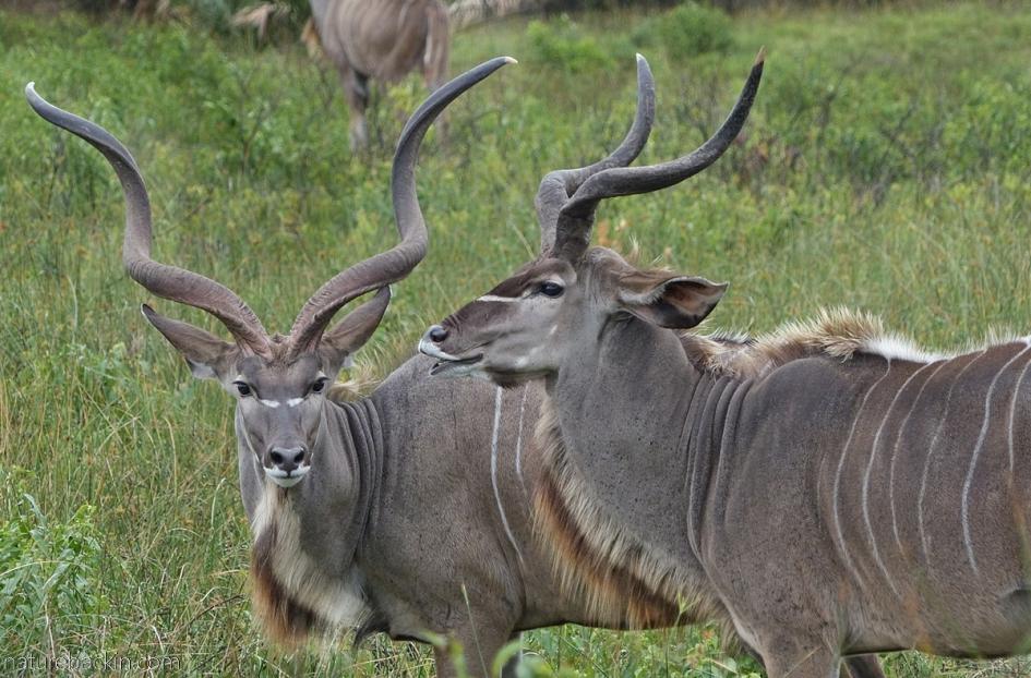 Male kudu antelope at Cape Vidal, iSmangaliso Wetland Park, South Africa