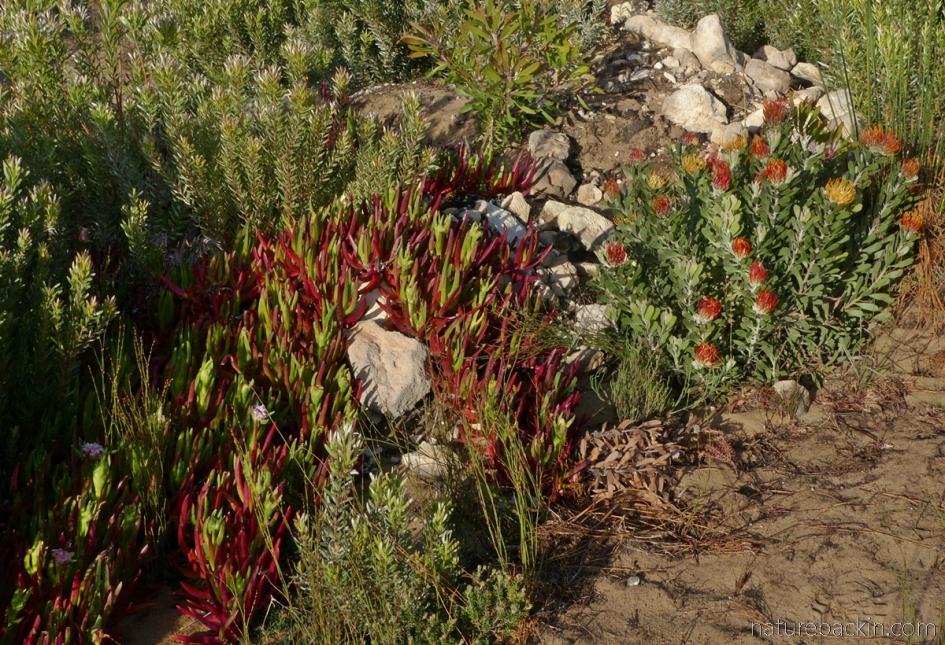 Fynbos vegetation, Western Cape