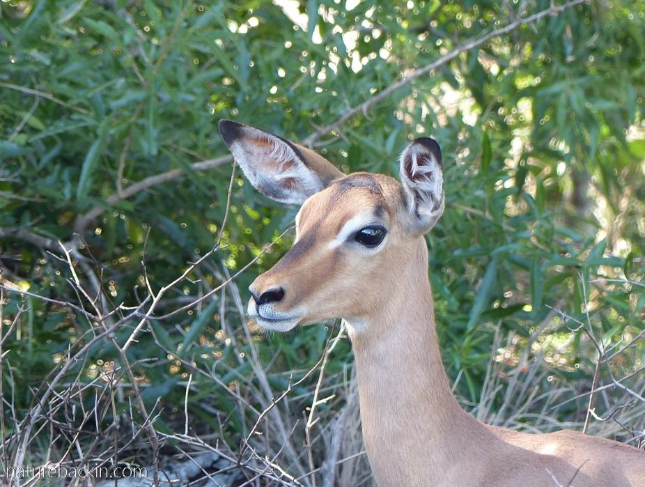 Young impala at Mkhuze Game Reserve, KZN