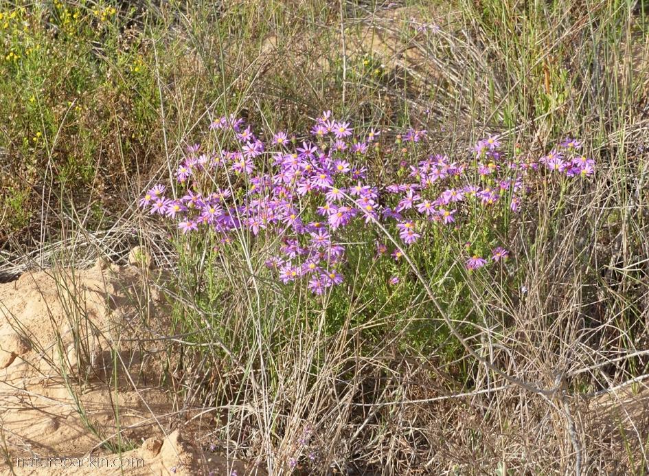 Fynbos flowers, Western Cape
