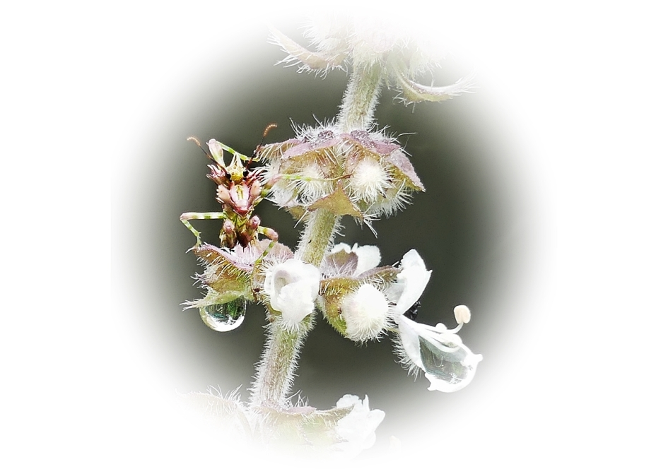 Spiny flower mantid nymph on basil flowers with raindrop