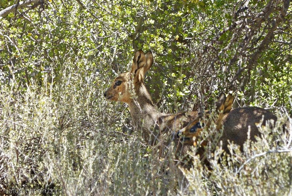 Klipspringer hiding in thicket in Gamkaberg Nature Park