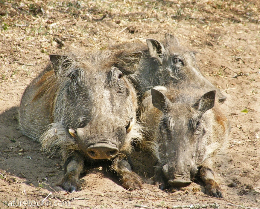 Small family of warthogs at Kuleni Game Park, KZN