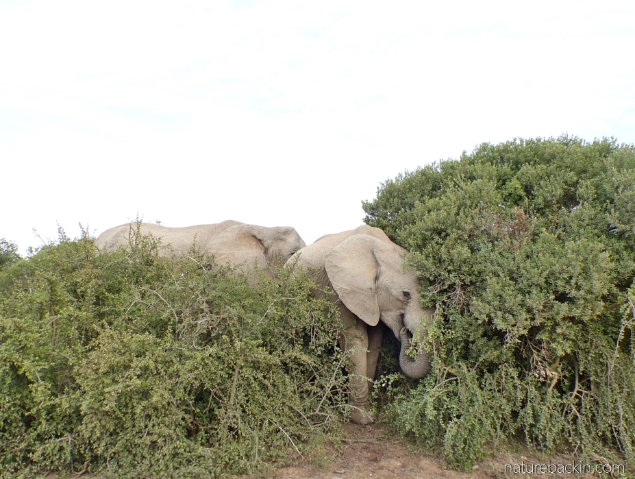 Elephants feeding in thicket in Addo Elephant National Park