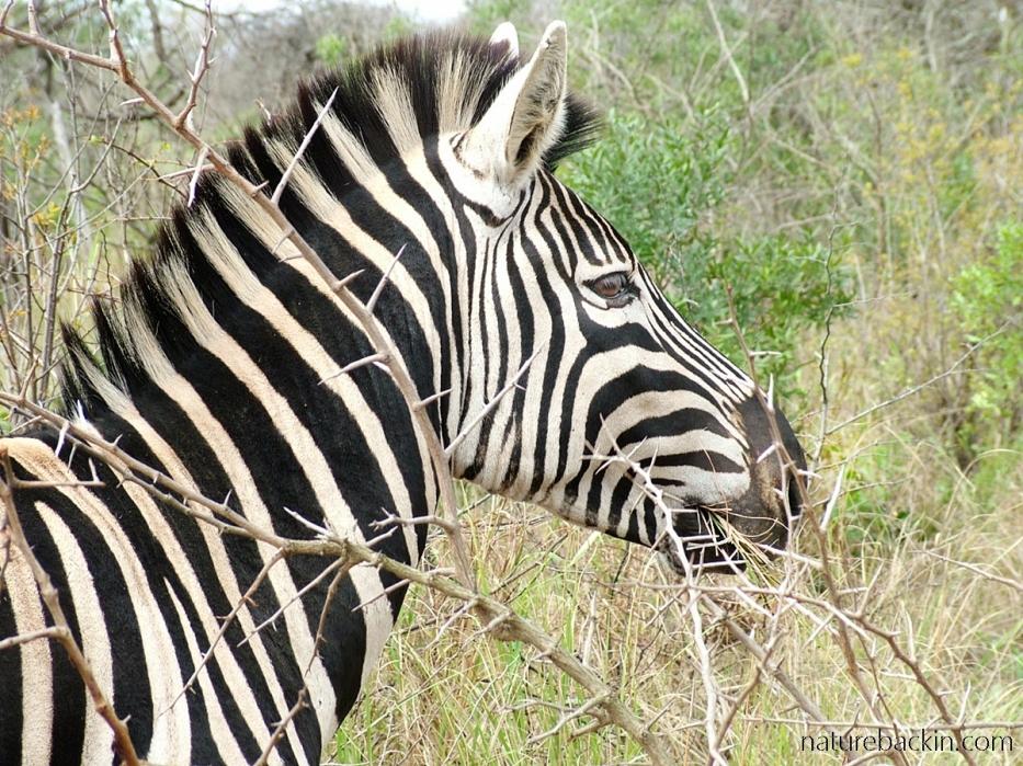 Profile of zebra at Hluhluwe, South Africa