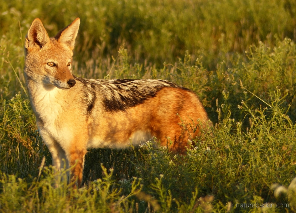 Black-backed jackal in late afternoon light at Central Kalahari Game Reserve, Botswana