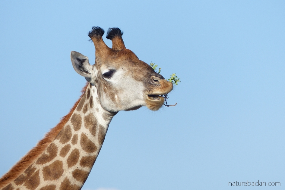 Giraffe chewing on a a sprig of leaves and twigs, Khama Rhino Sanctuary, Botswana