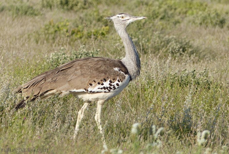 Walking kori bustard, Botswana