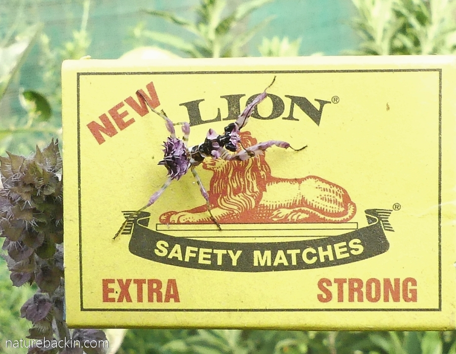 Matchbox showing comparative size of a spiny flower mantid