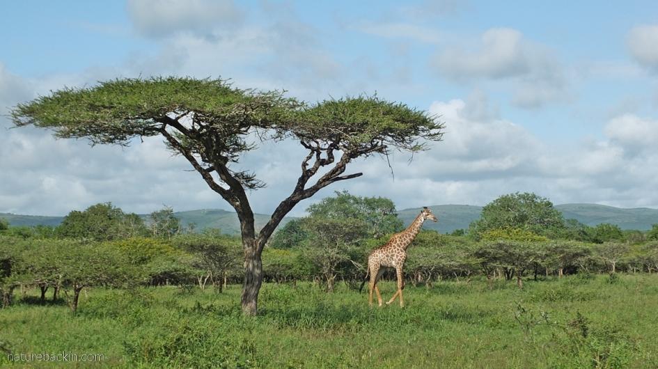 Giraffe in Acacia Savanna at Mkhuze Game Reserve, KZN