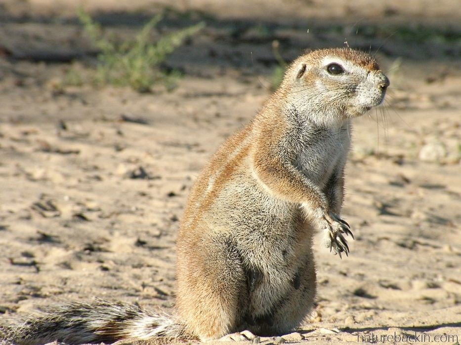 Striped ground squirrel outside the burrow, Mabuasehube, Botswana