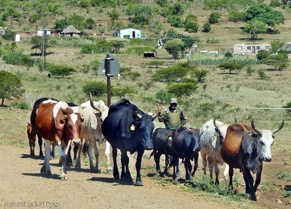 Cattle being herded Mkhuze area, KwaZulu-Natal