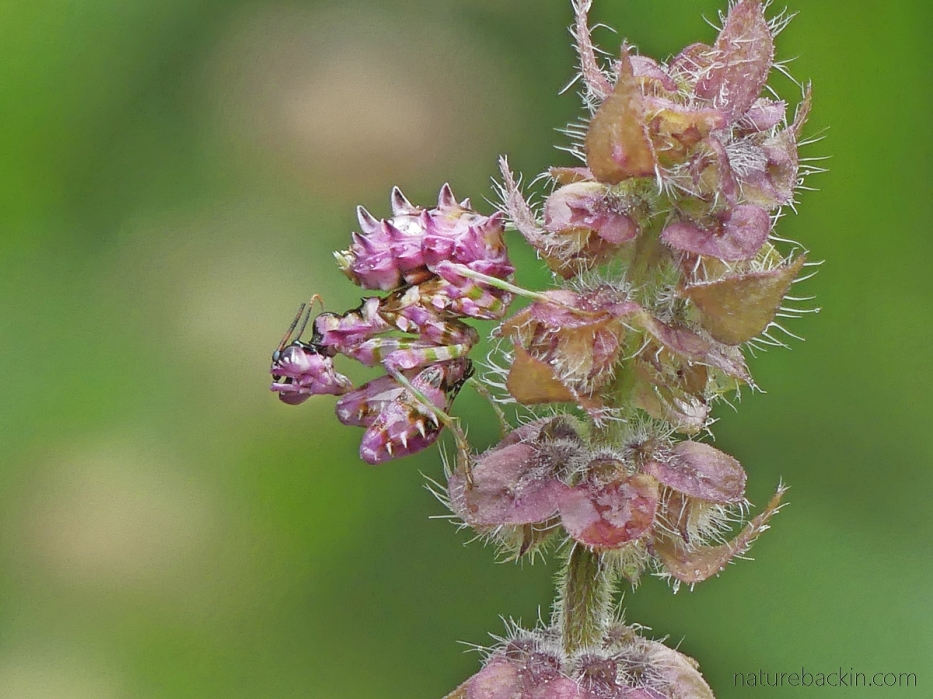 Spiny flower mantid ambush hunting on a flower stem