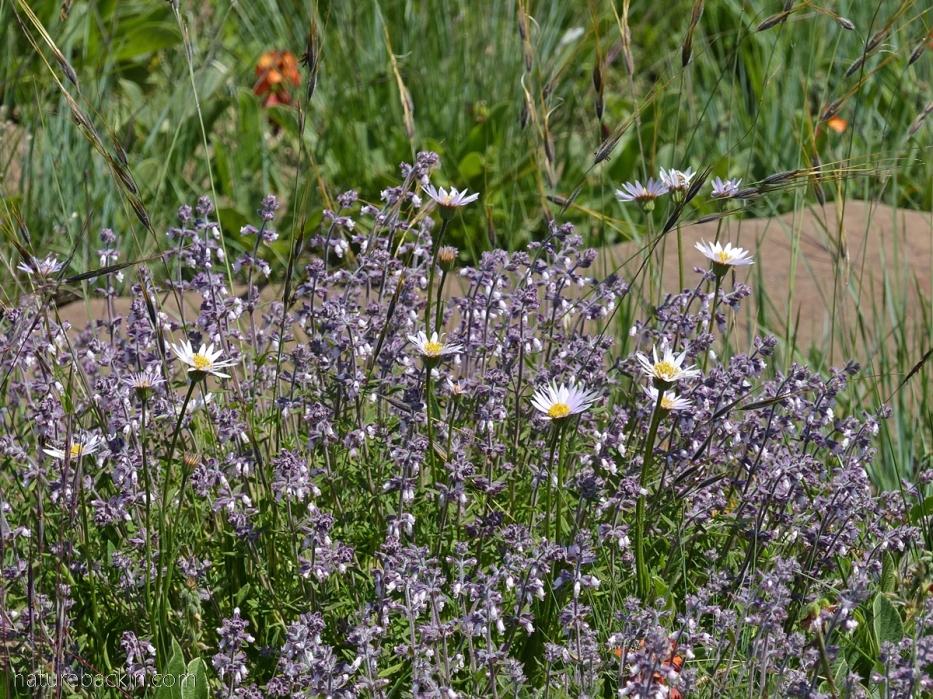 Wild flowers in grassland, KwaZulu-Natal Midlands