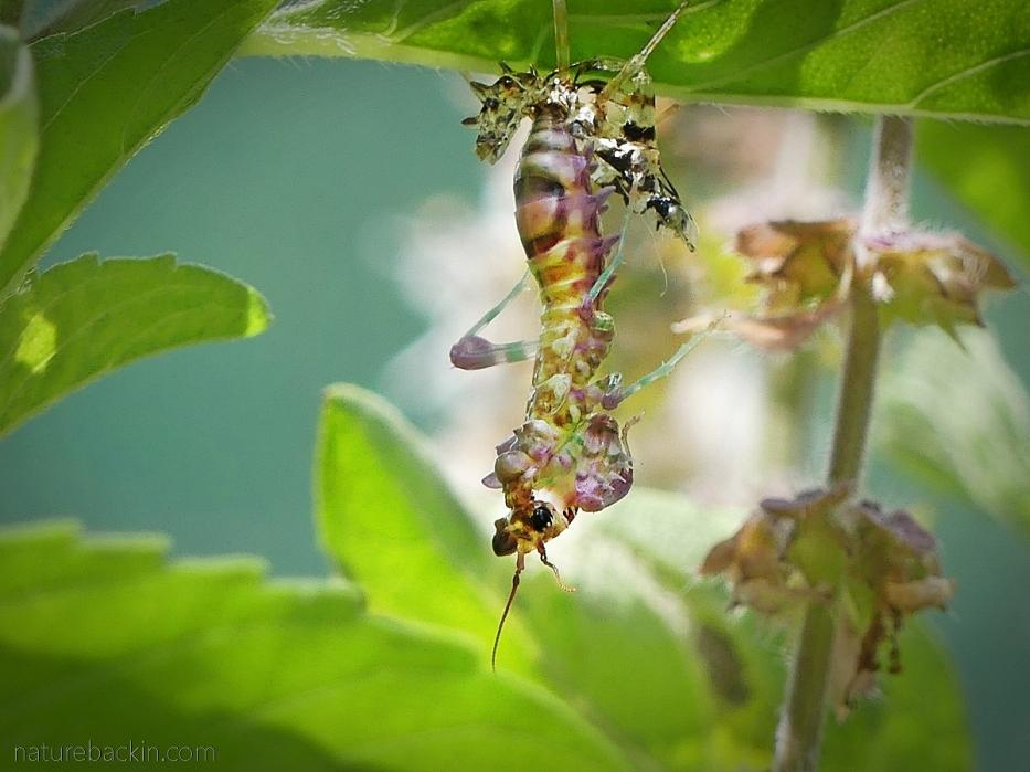 Spiny flower mantid shedding its exoskeleton